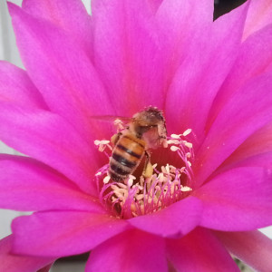 Bee, cactus flower